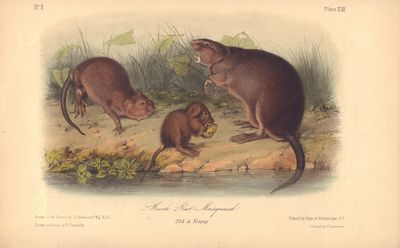 Image for Musk Rat - Musquash, Old & Young, Plate XIII (from Audubon's Quadropeds)