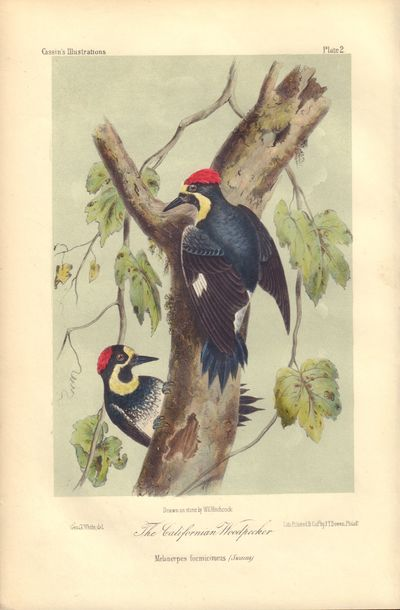 Image for The Californian Woodpecker: Melanerpes formicivorus (Swains) Plate 2 in Illustrations of the Birds of California, Texas, Oregon, British and Russian America.