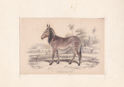 """HYBRID ASS AND ZEBRA. AN ORIGINAL HAND-COLORED ENGRAVING BY WILLIAM LIZARS FROM """"THE NATURALIST'S LIBRARY"""", (Lizars, William)"""