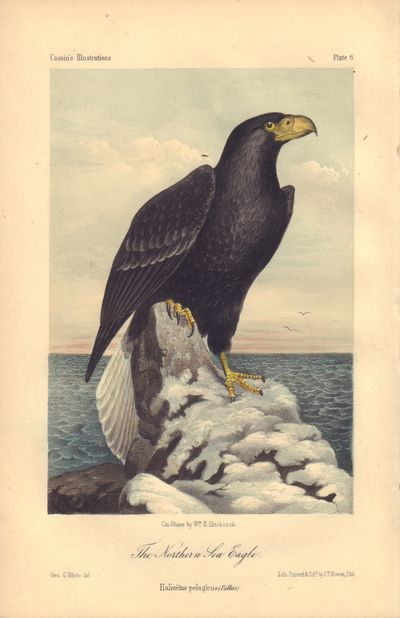 Image for The Northern Sea Eagle: Haliaelus pelagicus. Plate 6 in Illustrations of the Birds of California, Texas, Oregon, British and Russian America. (The Northern Sea Eagle: Haliaelus pelagicus. Plate 6 in Illustrations of the Birds of California, Texas, Oregon, British and Russian America.)