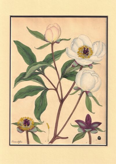 Image for Paeonia Albiflora -- Plate LXIV of The botanist's repository, for new and rare plants: containing coloured figures of such plants, as have not hitherto appeared in any similar publication ; with all their essential characters, botanically arranged, after the sexual system of the celebrated Linnaeus ; in English and Latin ; to each description is added, a short history of the plant, as to its time of flowering, culture, native place of growth
