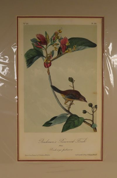 Image for Bachman's Pinewood Finch No. 36, PI.176