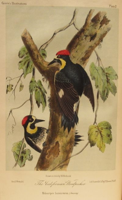 Image for Illustrations of the Birds of California, Texas, Oregon, British and  Russian America. Intended to Contain Descriptions and Figures of all North  American Birds not given by Former American Authors, and a General  Synopsis of North American Ornithology.
